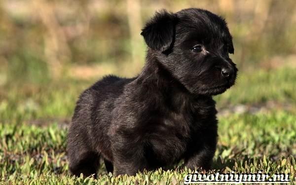 Скай-терьер-собака-Описание-особенности-уход-и-цена-скай-терьера-8
