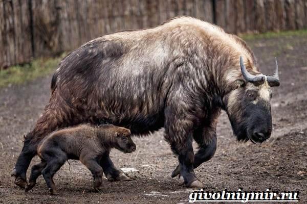 Такин-животное-Описание-и-особенности-животного-такин-8