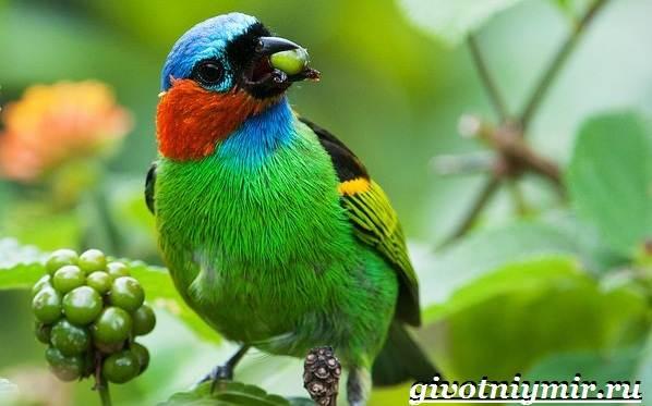 Танагра-птица-Образ-жизни-и-среда-обитания-птицы-танагра-10
