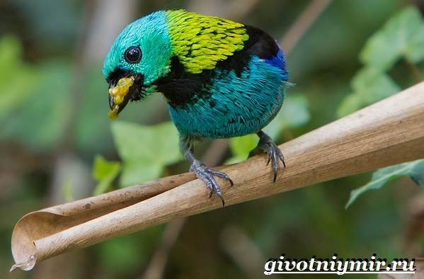 Танагра-птица-Образ-жизни-и-среда-обитания-птицы-танагра-11
