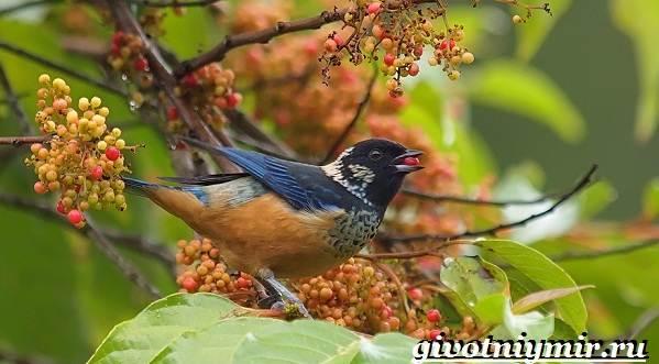 Танагра-птица-Образ-жизни-и-среда-обитания-птицы-танагра-12