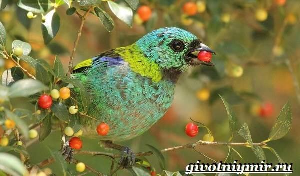 Танагра-птица-Образ-жизни-и-среда-обитания-птицы-танагра-13