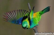 Танагра птица. Образ жизни и среда обитания птицы танагра