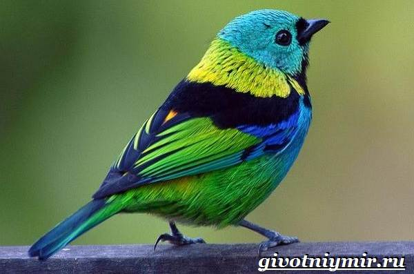 Танагра-птица-Образ-жизни-и-среда-обитания-птицы-танагра-5