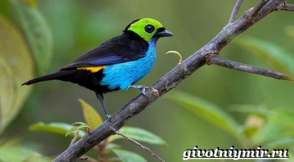 Танагра-птица-Образ-жизни-и-среда-обитания-птицы-танагра-9