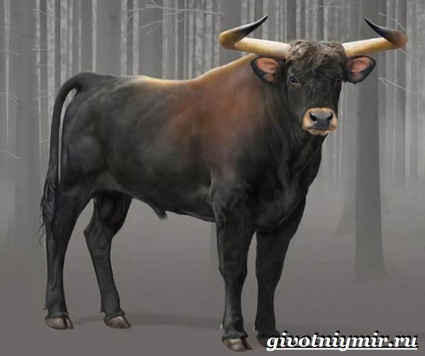 Тур-бык-животное-Описание-особенности-и-причины-вымирания-тура-2