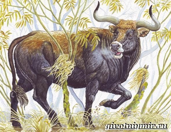 Тур-бык-животное-Описание-особенности-и-причины-вымирания-тура-6