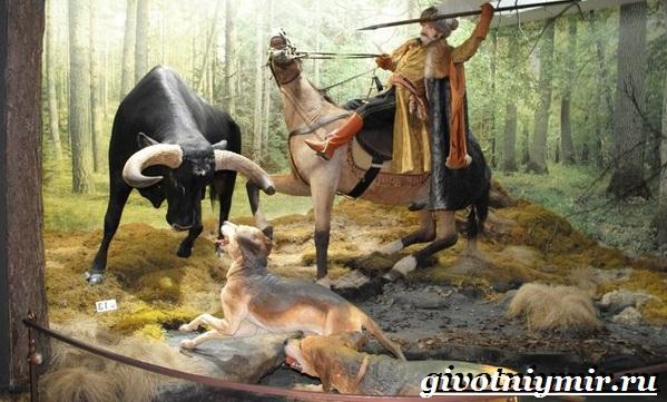 Тур-бык-животное-Описание-особенности-и-причины-вымирания-тура-8