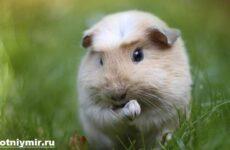 Сколько живут морские свинки?