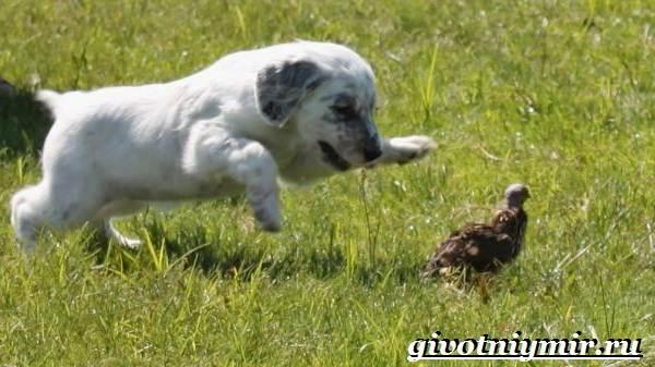 Английский-сеттер-собака-Описание-особенности-уход-и-цена-английского-сеттера-10