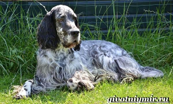 Английский-сеттер-собака-Описание-особенности-уход-и-цена-английского-сеттера-2
