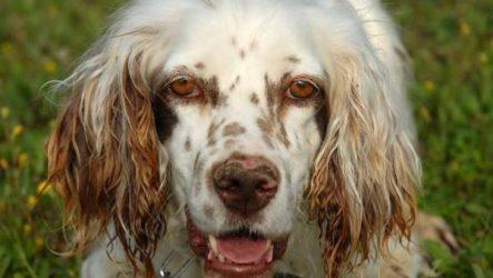 Английский сеттер собака. Описание, особенности, уход и цена английского сеттера