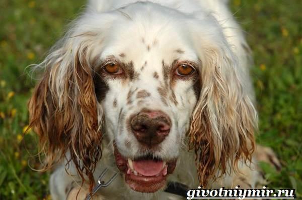 Английский-сеттер-собака-Описание-особенности-уход-и-цена-английского-сеттера-3