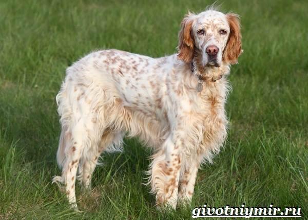 Английский-сеттер-собака-Описание-особенности-уход-и-цена-английского-сеттера-4