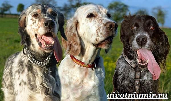 Английский-сеттер-собака-Описание-особенности-уход-и-цена-английского-сеттера-5