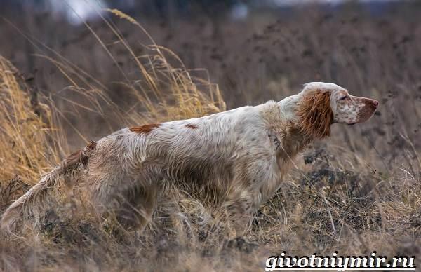 Английский-сеттер-собака-Описание-особенности-уход-и-цена-английского-сеттера-6