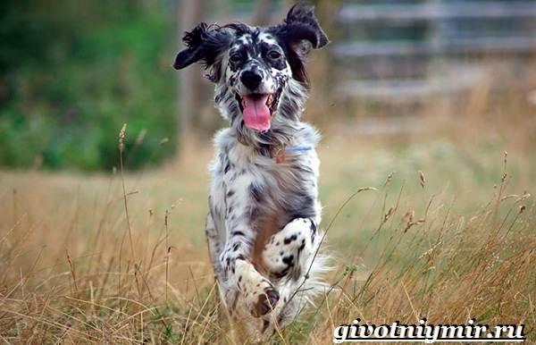 Английский-сеттер-собака-Описание-особенности-уход-и-цена-английского-сеттера-7