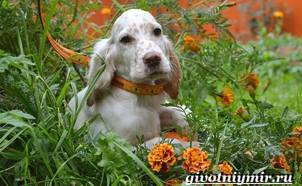 Английский-сеттер-собака-Описание-особенности-уход-и-цена-английского-сеттера-8