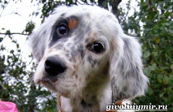 Английский-сеттер-собака-Описание-особенности-уход-и-цена-английского-сеттера-9