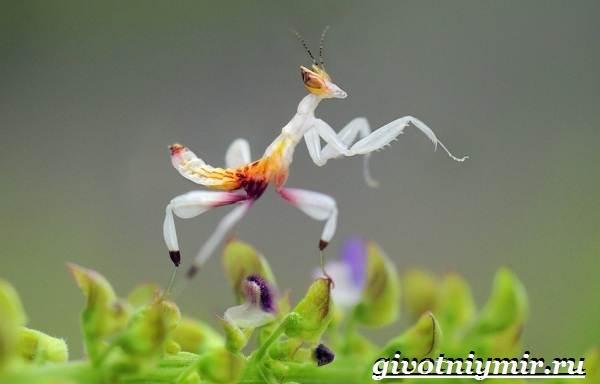 Богомол-орхидейный-насекомое-Образ-жизни-и-среда-обитания-орхидейного-богомола-10