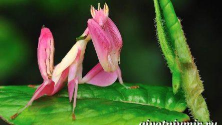 Богомол орхидейный насекомое. Образ жизни и среда обитания орхидейного богомола