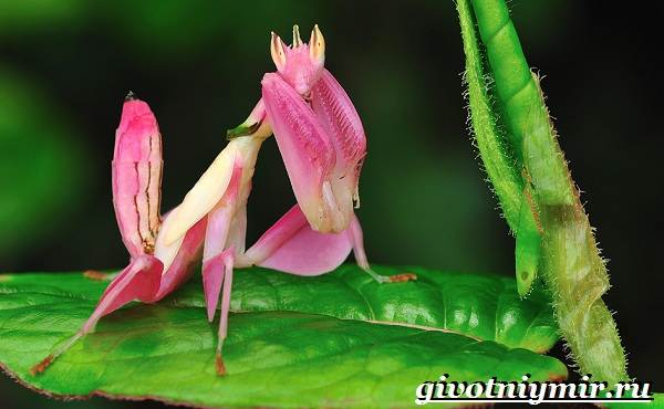 Богомол-орхидейный-насекомое-Образ-жизни-и-среда-обитания-орхидейного-богомола-3
