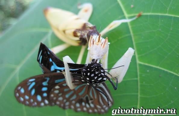 Богомол-орхидейный-насекомое-Образ-жизни-и-среда-обитания-орхидейного-богомола-6