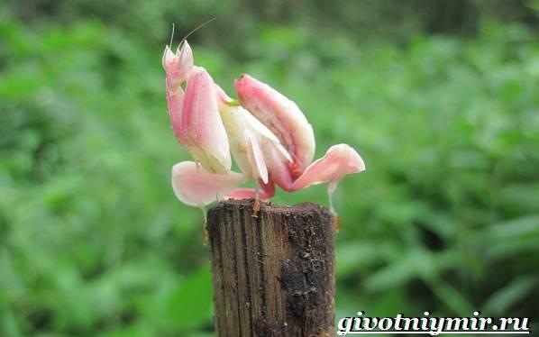 Богомол-орхидейный-насекомое-Образ-жизни-и-среда-обитания-орхидейного-богомола-9