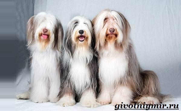 Бородатый-колли-собака-Описание-особенности-уход-и-цена-породы-1