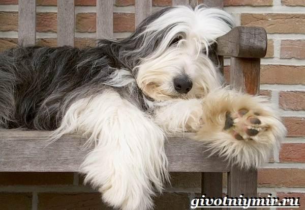 Бородатый-колли-собака-Описание-особенности-уход-и-цена-породы-2