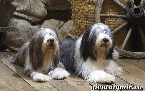 Бородатый-колли-собака-Описание-особенности-уход-и-цена-породы-3