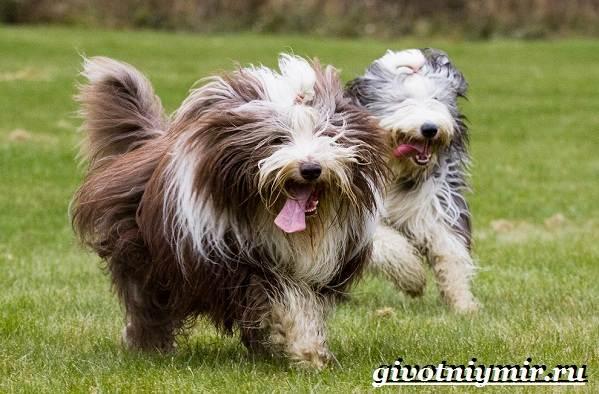 Бородатый-колли-собака-Описание-особенности-уход-и-цена-породы-5