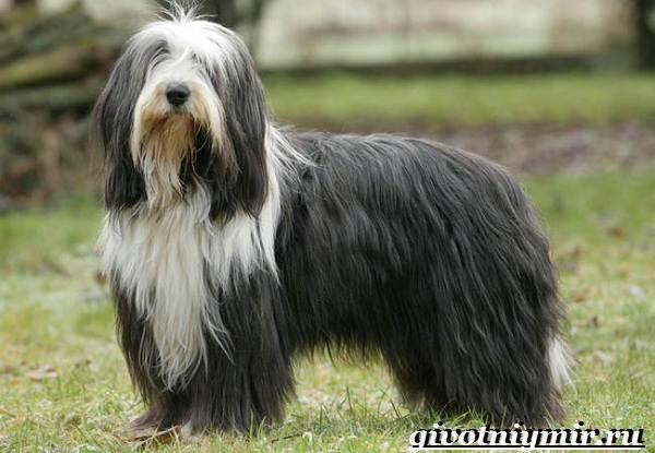 Бородатый-колли-собака-Описание-особенности-уход-и-цена-породы-6