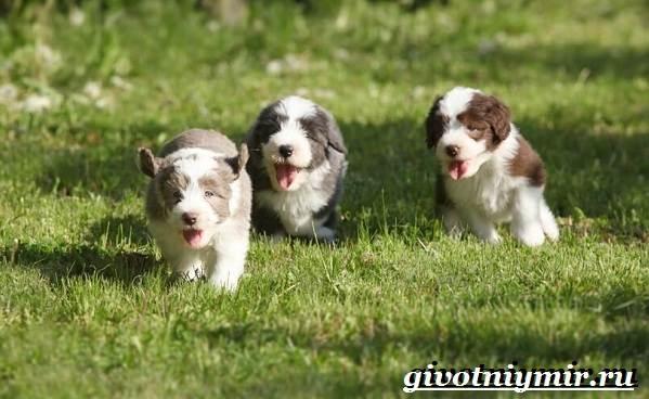 Бородатый-колли-собака-Описание-особенности-уход-и-цена-породы-8