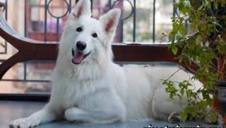 БШО белая швейцарская овчарка собака. Описание, уход и цена породы