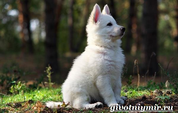 БШО-белая-швейцарская-овчарка-собака-Описание-уход-и-цена-породы-12