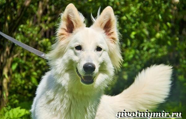 БШО-белая-швейцарская-овчарка-собака-Описание-уход-и-цена-породы-4