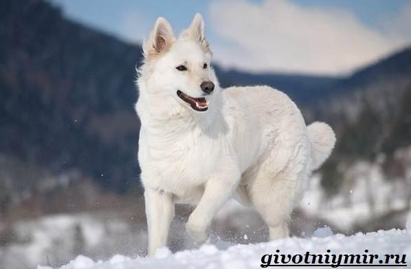 БШО-белая-швейцарская-овчарка-собака-Описание-уход-и-цена-породы-5