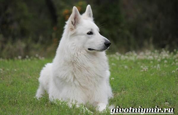 БШО-белая-швейцарская-овчарка-собака-Описание-уход-и-цена-породы-6