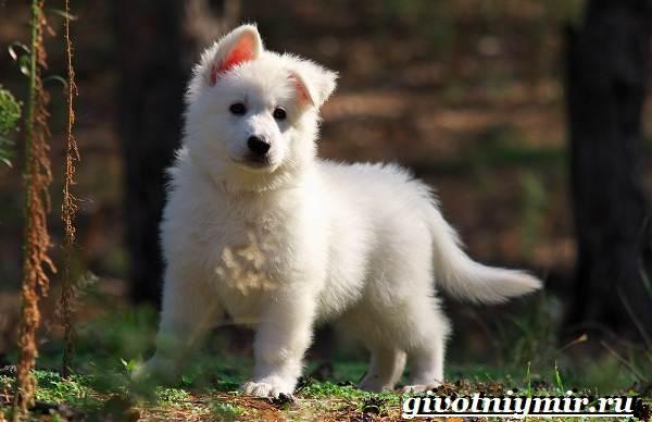 БШО-белая-швейцарская-овчарка-собака-Описание-уход-и-цена-породы-8