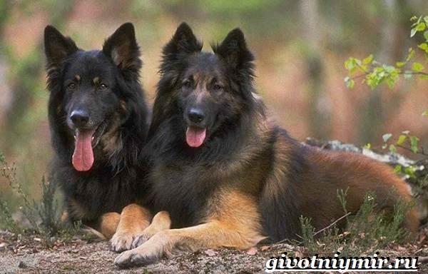 Тервюрен-собака-Описание-особенности-уход-и-цена-за-овчаркой-тервюрен-2