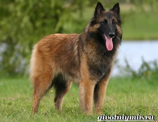 Тервюрен-собака-Описание-особенности-уход-и-цена-за-овчаркой-тервюрен-3
