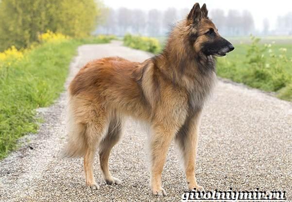 Тервюрен-собака-Описание-особенности-уход-и-цена-за-овчаркой-тервюрен-5
