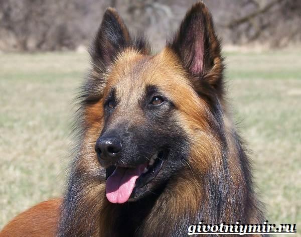 Тервюрен-собака-Описание-особенности-уход-и-цена-за-овчаркой-тервюрен-7