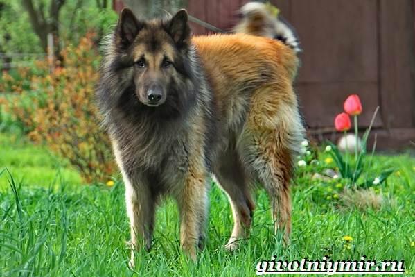 Тервюрен-собака-Описание-особенности-уход-и-цена-за-овчаркой-тервюрен-8