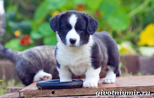 Вельш-корги-кардиган-собака-Описание-особенности-уход-и-цена-породы-10