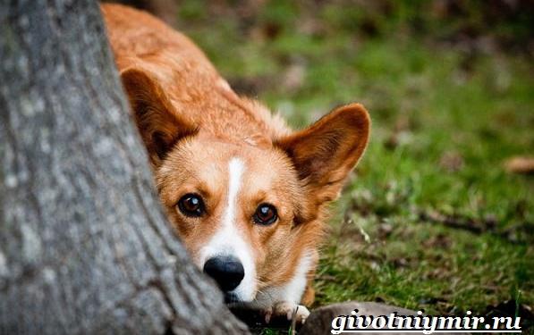 Вельш-корги-кардиган-собака-Описание-особенности-уход-и-цена-породы-12