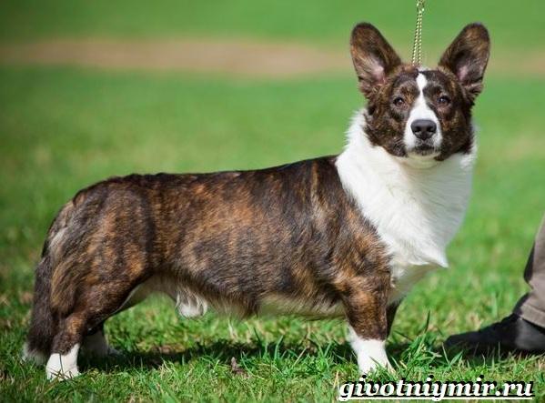 Вельш-корги-кардиган-собака-Описание-особенности-уход-и-цена-породы-13