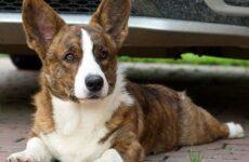 Вельш корги кардиган собака. Описание, особенности, уход и цена породы