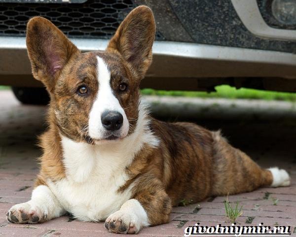 Вельш-корги-кардиган-собака-Описание-особенности-уход-и-цена-породы-4